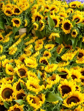 Blooming sun flowers  Helianthus annuus  in summer photo