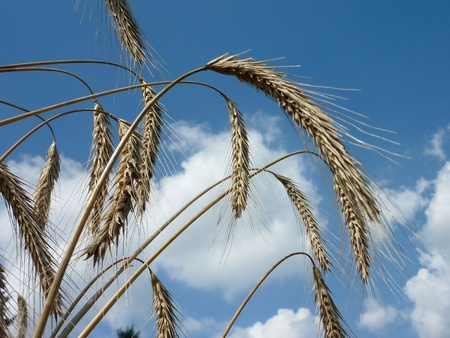 Wheat ears opposite a blue sky with clouds Stock Photo - 12506317