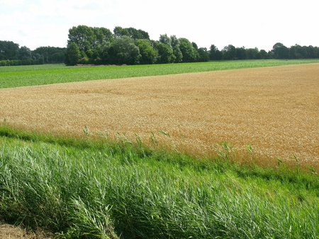 A wheat field in the Netherlands