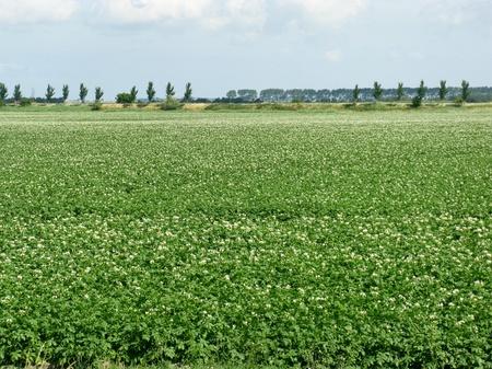 overflakkee: Flowering potato field in summer Stock Photo