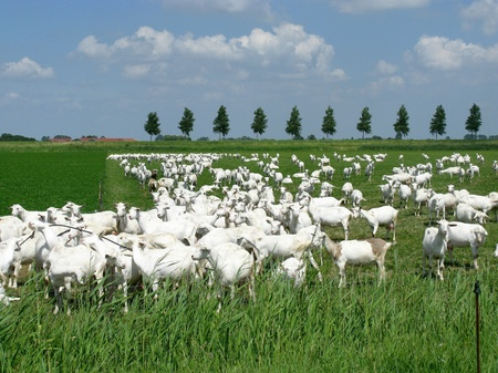 White goats in a meadow of a goat farm Stock Photo