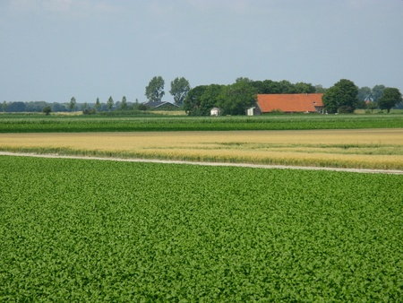 Fields with potato plants and wheat