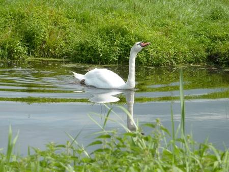 percept: Mute swan  cygnus olur  in a ditch