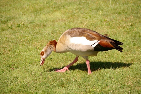 An Egyptian goose on the grass photo