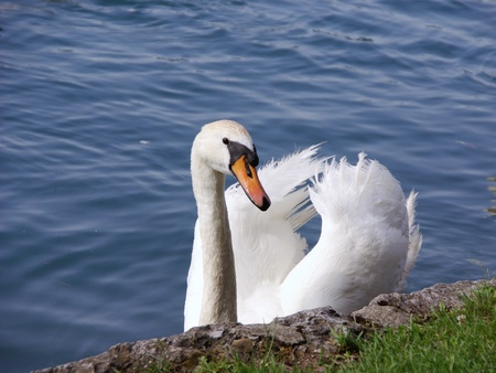 percept: An exited mute swan at the waterside Stock Photo