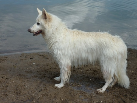 shepperd: A swiss white shepherd dog on the beach of a lake