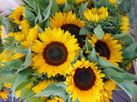 Blooming sun flowers  Helianthus annuus  in summer Фото со стока