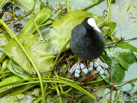 A coot on a nest in a canal photo