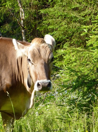 a portrait of a swiss cow in a rural landscape Stock Photo - 12585336