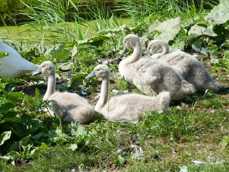 olur: Young mute swans at the waterfront of a ditch