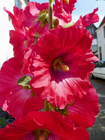 A flowering Common hollyhock Stock Photo - 12585284