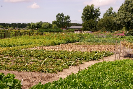 allotment: An allotment garden with vegetables