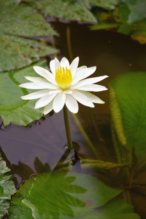 nymphaea: A white water lily Stock Photo