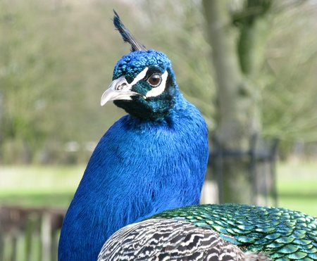 expended: A portrait of a peacock Stock Photo