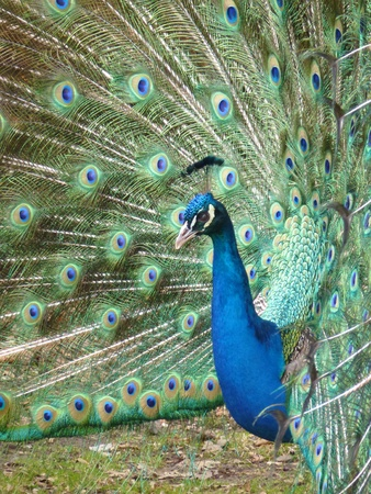 expended: A displaying indian or blue ribbon peacock