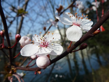 White blooming prunus flowers in spring photo