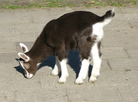 pigmy: A young brown pigmy goat at a farm