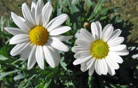 Blooming marguerite flowers in the field photo