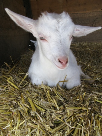 A white little goat lamb on the straw photo