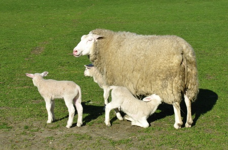 A sheep with three lambs in spring