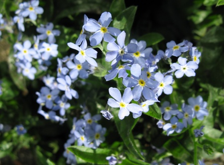 myosotis or forget me not flowers in a field photo