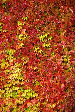Virginia creeper plants against a wall in autumn colours photo