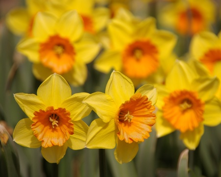 Yellow daffodils with orange hearts photo