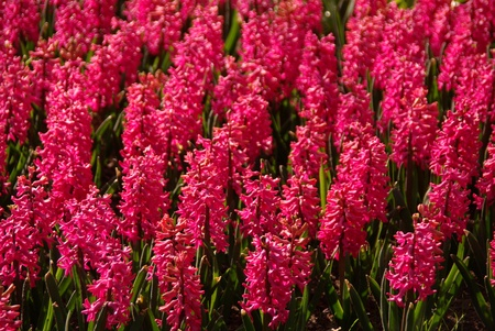 flower bulb: A field with red flowering hyacinth bulbs
