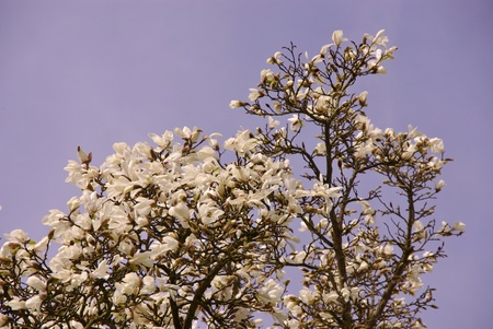 A flowering Magnolia tree opposite a blue sky photo