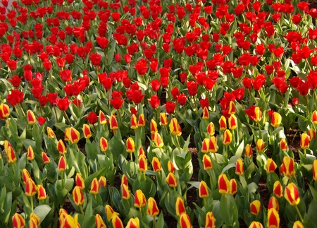 yeloow: Red and yeloow with red blooming tulip flowers in a field in spring