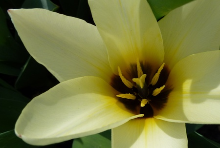 A closeup, of a yellow tulip in spring Stock Photo - 12957852