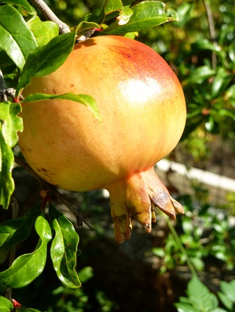 A pomegranate in a tree in summer photo