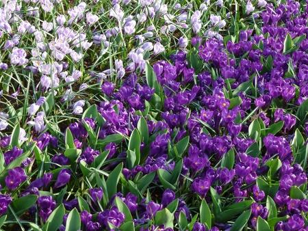 春に紫と薄紫色のクロッカス
