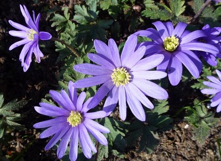 Blue blooming anemone flowers in spring photo