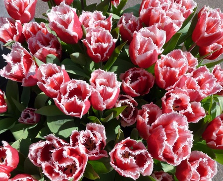 Red flowering tulips with white fringe Stock Photo - 13157125