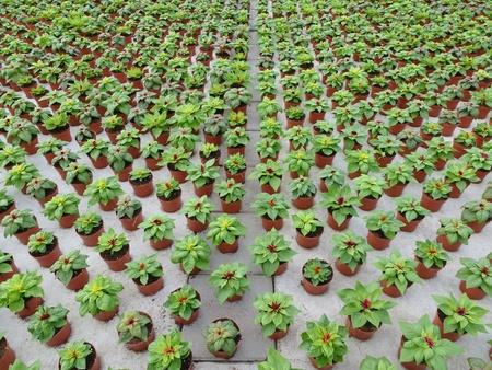 Celosia plants in pots in a green house of a nursery photo