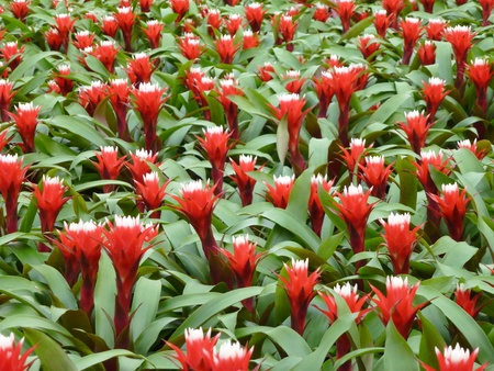 A field red flowering bromeliads plants in a glass house photo
