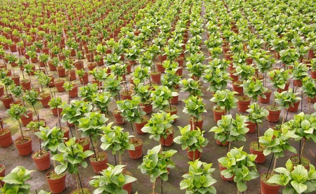 Hortensia plants at a breeder in a glass house Stock Photo - 13157218
