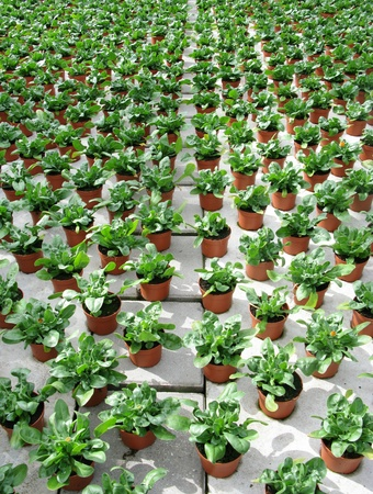 Celosia plants in pots in a green house of a nursery Stock Photo - 13157219