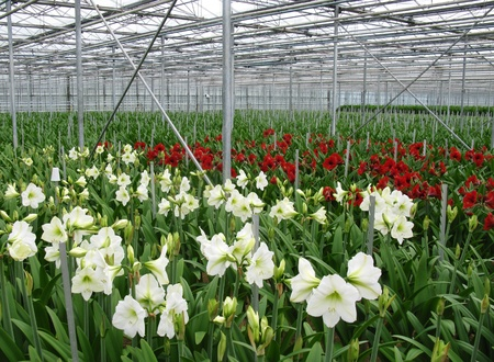 Flowering amaryllis bulbs in a glass house Stock Photo