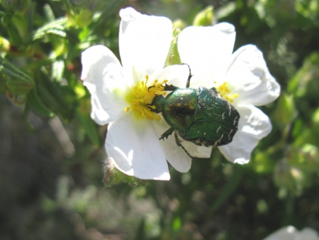 A green rose chafer on a white wild rose photo