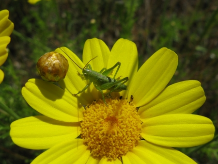A green cricket on a yellow Marguerite photo