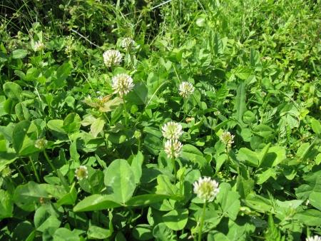 Flowering clover in green grasses Stock Photo - 13792850