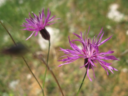 county side: Lilac blossoming ragged robin flowers in the county
