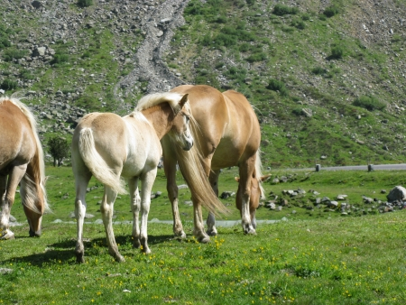 Haflinger horse with a foal in the high Alps of Austria photo
