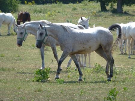 White lipizaner horses in Lipica in Slovenia Stock Photo - 14301492