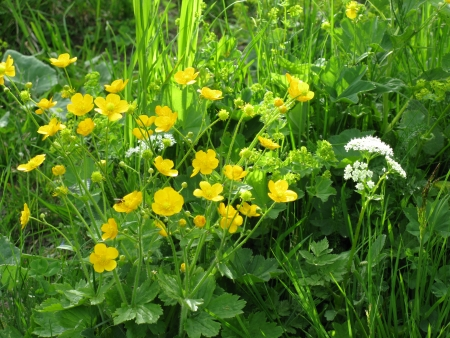 Buttercup flowers  ranunculus repens  in summer Stock Photo - 14476596