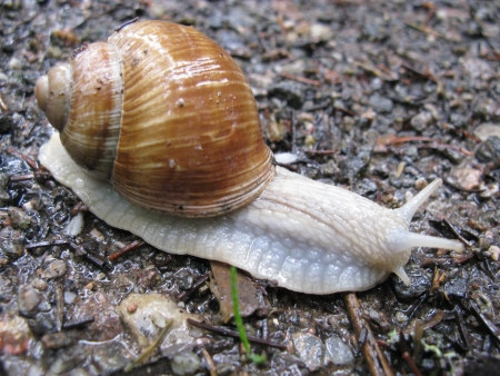 mollusc: A snail withits house on a wet day in the forest Stock Photo