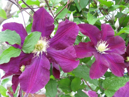 Flowering  clematis of the buttercup family  Ranunculaceae Stock Photo - 14337445
