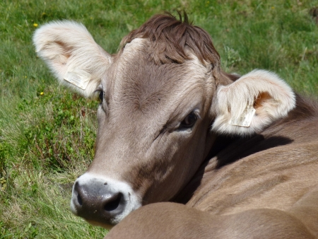 A portrait of a young Swiss cow in the Austrian Alps photo